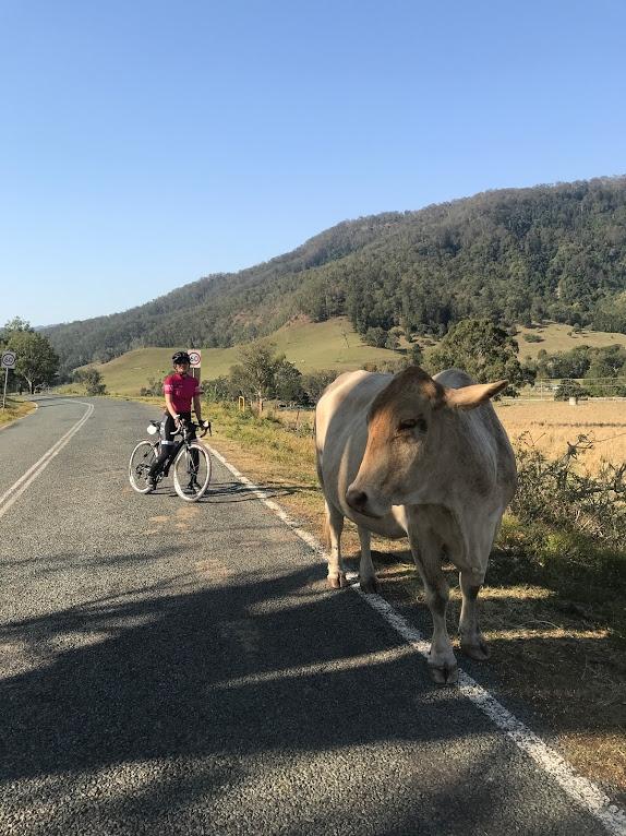 クルマや人にかまわずゆったりと草をはむ牛にびっくり!