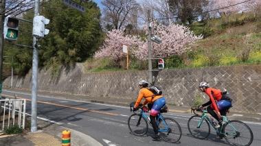 秦野の上りを桜を眺めながらクリア Photo:Yoko Oya