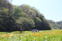 くりはま花の国ではこれからポピーが一面に広がる